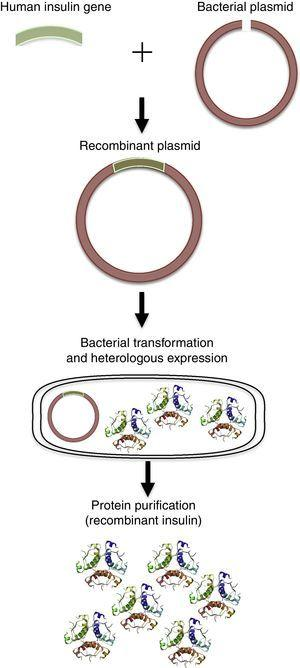 Recombinant protein production. Using recombinant DNA techniques, the target human gene can be isolated and ligated to a vector (plasmid). The plasmid containing the human gene is used to transform bacterial cells, which are able to produce high amounts of the recombinant protein.