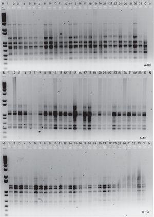 Agarose gel (1.4%) of PCR products referring to primers A09, A10 and A13 of viable treatments of Agaricus subrufescens cryopreserved at −75°C during two years and at −20°C for one year. M=1kb molecular mass marker&#59; 1–12=mycelium grown in wheat grain and cryopreserved at −75°C&#59; 14–24=mycelium grown in potato dextrose agar (PDA) and cryopreserved at −75°C&#59; 26, 31–33=mycelium grown in wheat grains and cryopreserved at −20°C&#59; C=PCR product of the same preserved fungus by periodic subculture (positive control)&#59; N=PCR reaction without DNA (negative control).