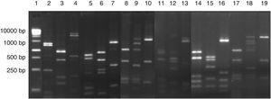 Digestion profile of lactic acid bacteria isolated from cassava fermentation in a cassava flour manufacturer. Lanes: 1: 1kb DNA ladder&#59; 2–4: Lactobacillus ghanensis profile (2-MspI, 3-HaeIII, 4-HinfI)&#59; 5–7: Enterococcus faecium profile (5-MspI, 6-HaeIII, 7-HinfI)&#59; 8–10: Weisella cibaria profile (8-MspI, 9-HaeIII, 10-HinfI)&#59; 11–13: Lactococcus garvieae profile (11-MspI, 12-HaeIII, 13-HinfI)&#59;14–16: Lactobacillus lactis profile (14-MspI, 15-HaeIII, 16-HinfI)&#59; 17–19: Leuconostoc mesenteroides profile (17-MspI, 18-HaeIII, 19-HinfI).