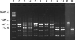 PCR fingerprinting profile of yeasts isolated from cassava fermentation in a cassava flour manufacturer in Formiga (MG, Brazil). Lanes: 1: 1kb DNA ladder&#59; 2, 5–7: Kazachstania exigua&#59; 3, 4 and 8: Candida humilis&#59; 9 and 10: Pichia scutulata&#59; 11: Candida ethanolica&#59; 12: Geotrichum fragrans.