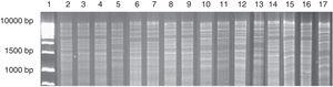 Mitochondrial DNA restriction patterns obtained from a chicha de jora sample at different times of fermentation. Column: 1: 1kb DNA ladder&#59; 2–7: profiles found with 1 day of fermentation (2–4: pattern 1&#59; 5: pattern 2&#59; 6–7: pattern 3)&#59; 8–10: profiles found with 2 days of fermentation (8–9: pattern 1&#59; 10: pattern 2)&#59; 11–15: profiles found with 3 days of fermentation (11–13: pattern 2&#59; 14–15: pattern 3)&#59; 16–17: profiles found with 5 days of fermentation (16: pattern 3&#59; 17: pattern 4).
