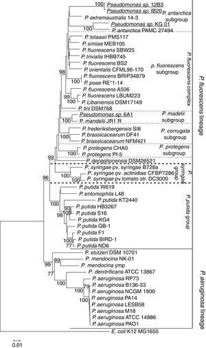 Maximum-likelihood phylogenetic tree based on the concatenated sequences of the genes 16S-aroE-glnS-gyrB-ileS-rpoD, showing the evolutionary relationship among selected members of the Pseudomonas genus. The bacteria isolated in Antarctica are shown in bold, and isolates presented in this study are shown in bold and underlined. The tree clearly shows the lineages of P. aeruginosa and P. fluorescens. Likewise, the P. fluorescens complex and its subgroups can be clearly distinguished. All Antarctic Pseudomonas can be classified within the P. fluorescens complex. Among them, P. deceptionentis seems to form a separate subgroup, and the isolate Pseudomonas sp. 6A1 appears in a branch of the P. mandelii subgroup. Together with the species P. antarctica and P. extramaustralis, the isolates Pseudomonas sp. IB20, Pseudomonas sp. 12B3 and Pseudomonas sp. KG01 form the new subgroup P. antarctica.