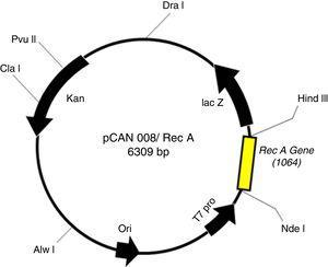 Plasmid map of the pET26 b-RecA construct (pCAN008).
