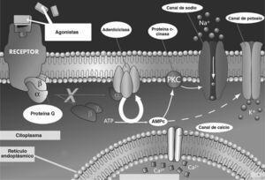 Vías de señalización intracelular mediadas por receptores acoplados a proteína G estimuladora. AMPc: adenosinmonofosfatocíclico; ATP: adenosointrifosfato; PKC: proteincinasa.
