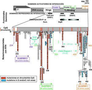 Estructura de los receptores TRβ1 y TRβ2, con los dominios funcionales de unión a DNA y a T3. También se indican las zonas de la molécula que interaccionan con los co-represores (SSD1, SSD2 y SSD3) y de dimerización. Las mutaciones se agrupan en 3 zonas (Cluster 1, 2 y 3), en regiones ricas en dinucleótidos CpG. (Reproducido con permiso de: Refetoff D. The syndromes of resistance to thyroid hormones. En: DeGroot LJ, editor. Thyroid Disease Manager. Capítulo 16. Figura 3. Disponible en: http://www.thyroid manager.org).
