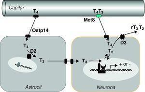 Hipótesis sobre el transporte y metabolismo de las hormonas tiroideas en el sistema nervioso central (Grijota-Martínez et al67). En la barrera hematoencefálica de roedores el transportador Oatp14 facilita el paso de T4 a los astrocitos, donde se convierte en T3. Mct8 facilita el paso de T4 y T3 probablemente al espacio intersticial, de donde pasarían a las neuronas. En estas células la T3 podría actuar directamente en el núcleo o ser un sustrato de D3, al igual que T4. Es posible que en primates el transporte de T4 y T3 dependa exclusivamente de MCT8, por lo que las mutaciones del transportador tienen mayor repercusión que en roedores.