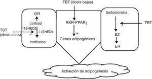 Mecanismo de acción de los compuestos orgánicos derivados del estaño. E2: estradiol&#59; GR: receptor de glucocorticoides&#59; TBT: tributin estaño&#59; 11(HED: 11( hidroxiesteroide-deshidrogenasa&#59; += activación&#59; -=inhibición.