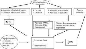 Patogenia de la enfermedad ósea en la EC.DMO: densidad mineral ósea; EC: enfermedad de Cushing; FSH: hormona foliculoestimulante; GH: hormona del crecimiento; IGF-1: factor de crecimiento insulinoide tipoi; LH: hormona luteotropina; OPG: osteoprotegerina; PTH: hormona paratiroidea; RANKL: receptor activator of nuclear factor-kappa B-ligand.