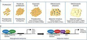 Diferenciación de preadipocitos a adipocitos. A)Esquema del proceso de transición de preadipocito a adipocito maduro indicando los diferentes estadios. B)Modelo secuencial del control transcripcional durante la adipogénesis.