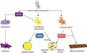 Diferenciación de la célula madre mesenquimal a diferentes tipos celulares. Estudios recientes apoyan la teoría de que no existe un precursor común para los preadipocitos blancos y marrones. Los preadipocitos marrones presentan una «firma miogénica». Sin embargo, los adipocitos marrones inmersos en masas del TAB parece que provienen de un precursor diferente que los localizados en las masas del TAM. Estos adipocitos inmersos en el TAB con expresión de UCP-1 se han denominado «adipocitos beige» y son especialmente sensibles a la hormona irisina.