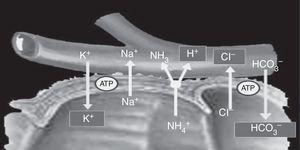 El amonio y cloruro se reabsorben. El intercambio de amonio por un protón está acoplado con el intercambio de bicarbonato por el cloruro; por lo tanto, se pierde bicarbonato y un poco de potasio. Tomado de Stein et al.7.