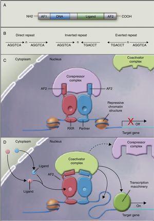 Receptores nucleares como factores de transcripción dependientes de ligando. A)Estructura canónica de un elemento de respuesta nuclear (NRE), incluye la función N-terminal de activación (AF1), la unión al ADN, la unión al ligando y los dominios C-terminal (AF2). B) Número de nucleótidos entre los elementos centrales (n) que confiere especificidad adicional. CyD) Heterodímero sin ligando y con ligando asociados al complejo correpresor y coactivador recíprocamente. Adaptado de Shulman et al.84.