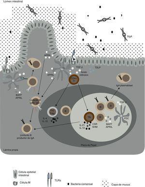 Redes celulares importantes en las respuestas de mucosa asociada a IgA. Células epiteliales intestinales «condicionan» células dendríticas (DC) cuando liberan TSLP (del inglés «thymic stromal lymphopoietin») y ácido retinoico en respuesta a la activación de sus TLR por bacterias comensales. Distintos subgrupos de DC intestinales, discutidas en el texto, liberan TGF-β, IL-10, ácido retinoico y óxido nítrico (NO), los cuales promueven las respuestas IgA en las placas de Peyer y en los ganglios linfáticos mesentéricos (MLN). A su vez, las distintas poblaciones de DC son capaces de inducir linfocitos T reguladores (Treg) y T helper (Th), incluso TFH, las cuales derivan en sí mismas de Treg. Los linfocitos TFH activan a su vez células B foliculares vía CD40L, TGF-β, IL-4, IL-10 e IL-21. Por su parte, las DC foliculares aumentan la producción de IgA al liberar factores activadores de células B pertenecientes a la familia de los TNF (BAFF y APRIL). Por otra parte, cuando DC foliculares son activadas por TLR ligandos y ácido retinoico secretan TGF-β, también promueven el aumento de la producción de IgA en folículos intestinales. Asimismo, existen subgrupos de DC intestinales capaces de inducir la producción de IgA de manera T-independiente, ya sea en ganglios linfáticos mesentéricos o en la lámina propia, al liberar BAFF, APRIL, ácido retinoico y NO en respuesta a ligandos TLR de bacterias comensales o IFN-β de células estromales. En humanos, estas señales T-independientes podrían inducir cambio de isotipo de IgM o de IgA1 a IgA2. Los anticuerpos IgA surgidos de todas estas reacciones atraviesan las células epiteliales intestinales por un proceso de transcitosis mediado por el receptor polimérico de Ig.