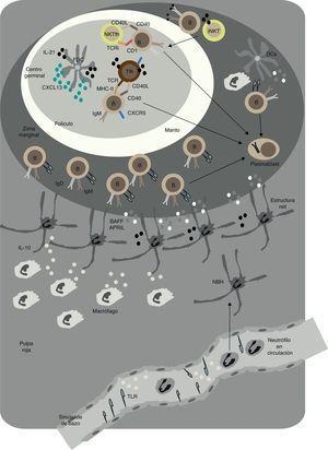 Respuestas T-dependientes y T-independientes en los folículos y en la zona marginal del bazo en humanos. En el folículo, linfocitos B se activan mediante la acción de los linfocitos TFH y las células dendríticas foliculares (FDC). Tras interaccionar con los linfocitos B, los linfocitos iNKT se diferencian a linfocitos NKTFH. Mediante la expresión de CD40L, IL-21 y otros factores activadores de linfocitos B, las TFH inducen la formación del centro germinal y el cambio de isotipo de IgM a IgG y la hipermutación somática. Estas reacciones generan linfocitos B memoria y células plasmáticas de alta afinidad. Los linfocitos NKTFH inducen una reacción de centro germinal caracterizada por la producción de IgG sin prácticamente maduración de la afinidad. En la zona marginal, neutrófilos NBH inducen la producción de anticuerpos por los linfocitos B de la zona marginal (MZ), mediante la secreción de BAFF, APRIL y otras moléculas estimuladoras. Las estructuras parecidas a los NETS que forman pueden ayudar a la activación de los linfocitos B de la MZ. Macrófagos y células endoteliales de las sinusoides del bazo activadas por señales TLR pueden ayudar a la formación de NBH. La interacción de los NBH y los linfocitos B de la MZ permite la formación de un repertorio innato de IgM, IgG e IgA que puede actuar como rápida barrera protectora frente la invasión sistémica por microbios.