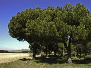 Large areas of pine forest (Pinus pinae) on the northern plains of Spain, infested with Thaumetopoea pityocampa.