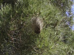 Nest of pine processionary caterpillars. This is a clear sign of infestation with this insect.