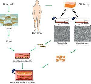 Generation of human dermoepidermal equivalents. Fibroblasts and keratinocytes obtained from donor skin biopsies are cultured. The fibroblasts are then arranged on a three-dimensional matrix rich in fibrin obtained from blood plasma. The keratinocytes are then seeded onto this artificial bioengineered dermis to form the epidermal component.