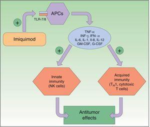 Mechanism of action of imiquimod. This immunomodulator acts by blocking TLR7 and TLR8, triggering the release of proinflammatory and antimicrobial cytokines and stimulating innate and acquired immunity, with antitumor effects. APCs indicates antigen-presenting cells; G-CSF, granulocyte colony-stimulating factor; GM-CSF, granulocyte-macrophage colony-stimulating factor; IL, interleukin; INF, interferon; NK, natural killer; TH1, type 1 helper T cells; TLR, toll-like receptor; TNF, tumor necrosis factor.