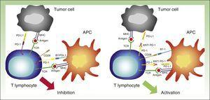 Interaction between PD-1 and PD-L1 leading to T-lymphocyte inhibition (left). Binding between anti PD-1 drugs such as nivolumab or pembrolizumab to PD-1 on the surface of the lymphocytes, resulting in their activation and hence the generation of the antitumor response (right). APC indicates antigen-presenting cell; MHC, major histocompatibility complex; TCR, T-cell receptor; CD28, cluster of differentiation 28; PD-1, programmed death protein 1; PD-L1, programmed death protein ligand 1.