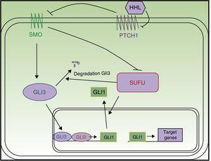 Schematic of the hedgehog pathway. Abbreviations: HHL, hedgehog ligands; PTCH1, Patched 1; SMO, Smoothened; SUFU, suppressor of fused.