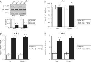 MiR-133 inhibits TGF-β pathway through down-regulation of FOXQ1 in lung cancer cell lines. (A) Total and phosphorylated Smad2/3 protein levels in A549 and HCC827 cell lines, after transfection with either miRNA negative control or miR-133. GAPDH was used as loading control. Quantification of p-Smad2/3 expression normalized to GAPDH was also shown in the lower panels. (B–D) Relative levels of miR-133 (B), FOXQ1 mRNA (C) and TGF-β mRNA (D) in A549 and HCC827 cell lines, after transfection with miR-133 alone, or co-transfection with miR-133 and plasmid expressing FOXQ1 in the absence of its 3′-UTR. Values were mean±SEM of three independent experiments. ns not significant to respective control; **P<.01 to respective control.