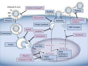 Representation of the influenza virus A cycle and the target sites of currently used and investigational antiviral agents.