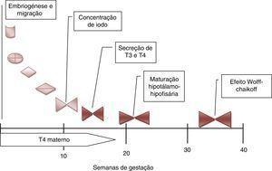 Desenvolvimento e maturação da tiroideia fetal durante a gravidez. De salientar a importância das hormonas tiroideias maternas durante o primeiro trimestre da gravidez. A maturação do eixo hipotálamo‐hipófise‐tiroideia só está completa por volta das 20 semanas. Só muito tardiamente a glândula tiroideia fetal é afetada pela sobrecarga de iodo (T4: tiroxina; T3: triiodotiroxina).