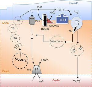 Principais eventos na síntese das hormonas tiroideias e no metabolismo do iodo. O iodo sob a forma de iodeto (I−) é concentrado ativamente na célula folicular da tiroideia através do transportador sódio/iodo symporter (NIS) localizado na membrana baso‐lateral da célula. Uma vez no polo apical da célula, o iodeto passa para o coloide por um processo de difusão facilitada mediado pela pendrina (PDS). A enzima peroxidase (TPO) na presença de peroxido de hidrogénio (H2O2) gerado pelo sistema de NADPH‐oxidases (DUOX e DUOXA, dual oxidase maturation factors) cataliza a ligação covalente do iodo aos resíduos tirosil da tiroglobulina (TG) e a subsequente formação de mono e diiodotironinas (MIT e DIT). As enzimas lisossomais libertam as hormonas tiroideias ativas T4 (tiroxina) e T3 (triiodotiroxina) da sua matriz. O iodo remanescente é reciclado por ação da desalogenase (YID). A secreção das hormonas tiroideias ativas na circulação dá‐se através de um processo de exocitose.