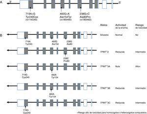 Polimorfismos del gen TPMT asociados con hematoxicidad. A) Estructura del gen y localización de los polimorfismos. Los cuadros representan a los exones de región no codificante (blanco) y región codificante (gris); B) Alelos que afectan la actividad de la enzima.