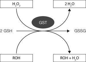Esquema del funcionamiento GST-GSH para eliminar compuestos tóxicos (oxidados). Modificado de Shelly, 201311.
