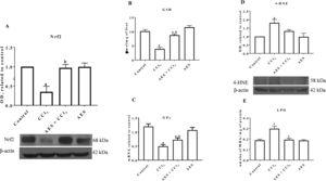 Aqueous extract of stevia (AES) decreased Nrf2 expression and oxidative stress markers in experimental cirrhosis. Western blotting of nuclear factor-E2-related factor 2 (Nrf2) (A) and 4-hydroxynonenal (4-HNE) (D) was performed for livers derived from control, CCl4-treated, AES+CCl4-treated, and AES-treated rats (n=3). β-Actin was used as a control. The values are presented as fold increases in OD values normalized to the values of the control group (control=1). The glutathione (GSH) content (B), GPx mRNA expression (C) and degree of lipid peroxidation (LPO) (E) were determined in livers (n=8). Each bar represents the mean value±SE (n=8). (a) P<0.05 compared with the control group; (b) P<0.05 compared with the CCl4 group.