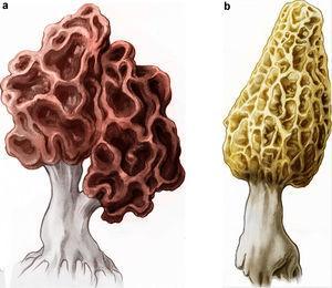 """(a) Gyromitra esculenta, """"false morel"""". (b) Morchella esculenta, """"true morel""""."""