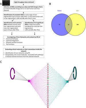 (A) Flow chart detailing the steps in our study, from data curation to final generation of networks based on protein-protein interactions. (B) Venn Diagram illustrating the distinct and overlapping dysregulated genes between human and mouse datasets. There were 75 dysregulated genes in humans, 502 dysregulated genes in mice, and 22 shared genes between human and mice (list of genes reported in Supplementary file 1). (C) Network analysis demonstrates the genes common to human and mouse early liver regeneration in the center, with the red triangles depicting up-modulated genes, and the green triangles depicting the down-modulated genes.