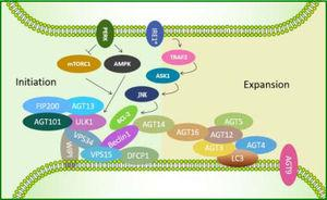 ATGs involved in the initiation of autophagy induced by endoplasmic reticulum (ER) stress. First, the ULK1-ATG13-FIP200-ATG101 complex is activated. Then, PtdIns3K class III complexes (Beclin1-VPS15-VPS34) are induced to transform phosphatidylinositol 3-phosphate (PtdIns3P) intensified by ATG14, followed by recruitment of downstream effectors such as DFCP1 and WIPI-family. ATG12-ATG5-ATG16L1 complex exerts its E3-like function and thus catalyzes LC3-I, leading to LC3 cleavage by ATG4 to LC3-II.