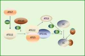 ATG12-ATG5 system involved in the expansion of autophagosomes. First, ATG7 activates ATG12 by functioning as an E1-like enzyme. Then, ATG12 conjugates to ATG5 and ATG16L, forming a functional complex as an E3-like enzyme. Meanwhile, activated ATG12 recruits ATG3, which acts as an E2-like enzyme. Finally, LC3 conjugates to PE under the action of the complex and ATG3.