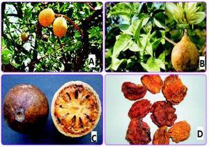 Aegle marmelos. A. Tree. B. Leaf, flower. C. Inside the ripe fruit. D. Fruit pulp.