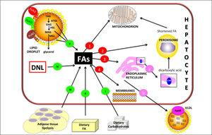 Hepatic lipid metabolism/homeostasis. Free fatty acids (FAs) can derive from external sources such as dietary carbohy drates (I) and/or lipids (II) and also from hydrolysis of fat in adipose tissue (III). Internal sources are de novo lipogenesis (DNL; IV) and release from storage organelles (V). In the cell, FAs are stored in lipid droplet (LD) core mainly in the form of triglycerides (TAGs). LD surface is decorated with an array of proteins including members of the perilipin (PLIN) family, of which PLIN2, PLIN3 and PLIN5 are expressed in normal liver. Lipases are recruited on LD surface and this triggers TAG hydrolysis that occurs sequentially in 3 steps: TAGs are hydrolyzed to form diacylglycerol (DAG) and then monoacylglycerol (MAG), with the release of a FA at each step. These two reactions are catalyzed by adipose triglyceride lipase (ATGL) and hormone sensitive lipase (HSL) respectively. Finally, MAG is hydrolyzed by monoglyceride lipase (MGL) to release the last FA and glycerol. Glycerol can enter glycolytic or gluconeogenic pathways. FAs released from TAG hydrolysis can be channelled to different organelles: 1. Mitochondria: short-chain (< C8), medium-chain (C8-C12), and long-chain (C12-C20) FAs, once transported by the carnitine system, undergo β-oxidation. 2. Peroxisomes: very-long-chain (> C20) FAs undergo β-oxidation; shortened FAs released from peroxisomes are subsequently oxidized in mitochondria. 3. Endoplasmic reticulum: a. in fatty liver, ω-oxidation, a minor pathway of FA metabolism, can be activated when the mitochondrial oxidation system is inadequate to metabolize excess FAs. ω-oxidation produces long-chain dicarboxylic acids by CYP4A subfamily catalysis. Long-chain dicarboxylic acids released from endoplasmic reticulum are subjected to further oxidation steps in peroxisomes. b. FAs can be again esterified and the resulting TAGs are packaged into ApoB containing lipoproteins (VLDL) and consequently secreted from the cell. 4. Membranes: FAs can f