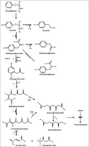 Tyrosine metabolic pathway. 1. Phenylalanine hydroxylase. 2. Tyrosine aminotransferase. 3. 4-hydroxyphenyl-pyruvic acid dioxygenase. 4. Homogentisic acid oxidase. 5. Maleylacetoacetic acid isomerase. 6. Fumarylacetoacetic acid hydrolase. −Disorder associated with elevated Tyr in plasma. 5-ALA: 5-aminolevulinic acid. × Inhibition of heme metabolism by succinylacetone accumulation.