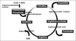 Urea cycle.
