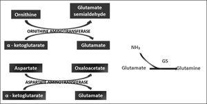 LOLA enhances the action of ornithine and aspartate transaminases in brain and peripheral tissues to produce glutamate, which promotes the synthesis of Gln by GS.