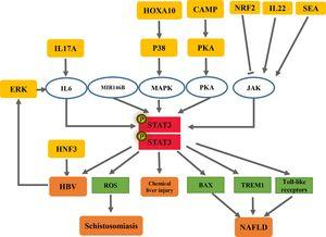 STAT3: a pro-inflammatory signal in liver fibrosis.