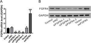 Validation of fibroblast growth factor FGF receptor 4 (FGFR4) knockdown and overexpression. LX-2 cells were transfected with FGFR4 siRNA (siFGFR4-1, 2, and 3), negative control siRNA (siNC), empty vector (Vector), and FGFR4 overexpression vector (oeFGFR4). After 48h, (A) mRNA and (B) protein levels of FGFR4 were measured by quantitative reverse transcription polymerase chain reaction and western blotting, respectively. Values represent mean±standard deviation (n=5). **P< 0.01 vs siNC group, ##P< 0.01 vs Vector group.