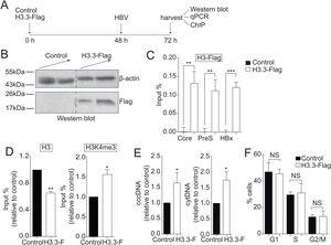 The histone variant H3.3 associates to the cccDNA and activates HBV transcription. (A) Scheme illustrating H3.3-Flag expression and detection of the HBV viral intermediates. (B) Western blot analysis of H3.3-Flag expression. Seventy-two hours after transfection, 15 and 30µg of total cell extracts derived from transfection were separated on 10% SDS-PAGE and Western blotted for Flag. On the left, the migration of molecular size markers is shown. (C) H3.3 association to viral promoters was assayed by ChIP analysis. Immunoprecipitated DNA was quantified by qPCR using specific primers for core, PreS and HBx promoters. The results are expressed as % of input. The standard deviation was obtained from three PCR reactions and the graph is representative of three independent experiments. (D) Covalent post-translational modifications on histone H3 were determined by ChIP analysis using the specific antibodies: H3 (left) and H3K4me3 (right). Immunoprecipitated DNA was quantified by qPCR using specific primers for core promoter. The results are expressed as fold changes of % Input with respect to the control. The standard deviation was obtained from three PCR reactions and the graphs are representative of two independent experiments. (E) The HBV replicative intermediates cytoplasmic viral core particles (cytDNA, right) and cccDNA (left) were determined 72h post-transfection of the H3.3-Flag construct. The value obtained in Control and in H3.3-Flag was divided by the Control value, thus the results are expressed relative to the Control. The standard deviation was obtained from four independent experiments. (F) Cell cycle profile of Huh7 cells expressing H3.3-Flag. The standard deviation was obtained from three independent experiments. *: p<0.05, **: p<0.01, ***: p<0.001, Student´s t-test.