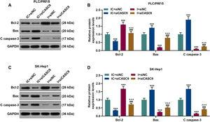 Down-regulated CASC9 promoted the apoptosis of HCC cells by negatively regulating miR-424-5p. (A): Western blot was used to detect the effects of CASC9 and miR-424-5p on the expressions of Bcl-2, Bax and C caspase-3 in PLC/PRF/5 cells. (B): The signal intensities of Bcl-2, Bax and C caspase-3 were quantified. n = 3. (C): Western blot was used to detect the effects of CASC9 and miR-424-5p on the expressions of Bcl-2, Bax and C caspase-3 in SK-Hep1 cells. (D): The signal intensities of Bcl-2, Bax and C caspase-3 were quantified. n = 3. * vs. IC + siNC; ^ vs. IC + siCASC9; # vs. I + siNC. *** p < 0.001; ^^^ p < 0.001; ### p < 0.001. Abbreviation: HCC, Hepatocellular carcinoma; Bcl-2, B-cell lymphoma-2; Bax, BCL2-Associated X; siNC, small interfering RNA of negative control; IC, inhibitor control; I, miR-424-5p inhibitor.