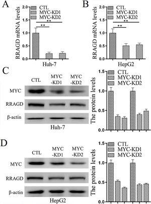 MYC regulates the expression of RRAGD in HCC cells. (A) The mRNA levels of RRAGD was detected in Huh-7 and HepG2 cells by RT-qPCR. GAPDH was detected as control. (B) Protein levels MYC and RRAGD in Huh-7 and HepG2 cells were detected by western blot and quantified by ImageJ. The β-actin was used as control. Data are mean±S.D. of three independent experiment and each measured in triplicate, * P <0.05.