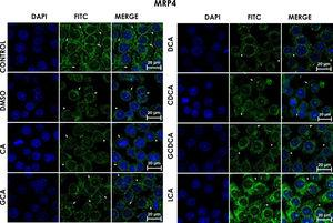 Subcellular distribution of MRP4 in bile acids treated cells. HepG2 cells were treated for 4h with bile salts. As described usually in literature, the label of MRP4 antibody was observed in control cells toward the plasma membrane with an empty cytoplasm as seen in DMSO, CA, <span class=