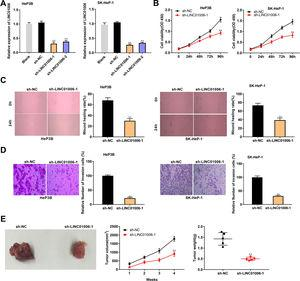LINC01006 knockdown inhibited the viability, migration, and invasion of HCC cells in vitro, and the tumor growth in vivo. A, The expression of LINC01006 was decreased by transfection of sh-LINC01006-1/2 in HeP3B and SK-HeP-1 cells. ** P<0.01 vs. Blank. B, Cell viability was determined by MTT analysis. C, Wound healing assay was carried out to detect the migration of HeP3B and SK-HeP-1 cells. D, Transwell assay was performed to detect the invasion of HeP3B and SK-HeP-1 cells. E, Tumor volume and weight were measured in a mouse xenograft model. ** P<0.01 vs. sh-NC (B–E).