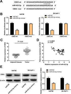MiR-433-3p directly targeted CBX3. A, TargetScan predicted the binding site of miR-433-3p on 3′-UTR of CBX3. B, Dual luciferase reporter (DLR) gene assay was performed to verify the relationship between CBX3 and miR-433-3p. ** P<0.01 vs. miR-NC. C, CBX3 expression in HCC tissues and adjacent tissues was detected by qRT-PCR. D, The correlation between CBX3 and miR-433-3p expression was analyzed by spearman's correlation analysis. E, Relative protein expression of CBX3 was measured by Western blot. ** P<0.01 vs. miR-NC.