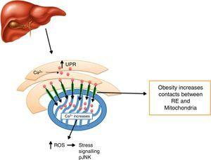 The development of obesity promotes an increase in between ER and mitochondrias contacts in the liver, leading to mitochondria Ca2+ overload and oxidative damage and inflammation generation.