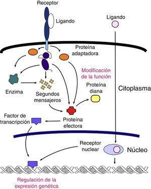Esquema general del sistema de señalización celular. Existen varios sistemas de traducción de señales dentro de la célula, pero las características generales son comunes en todos: una señal (ligando) interactúa con un receptor y lo activa; el receptor activado se relaciona con la maquinaria celular produciendo una segunda señal que desemboca en un cambio en los patrones de expresión genética o en la actividad funcional de otras proteínas. La modificación de la actividad metabólica es el principal blanco que sufre cambios en este sistema.